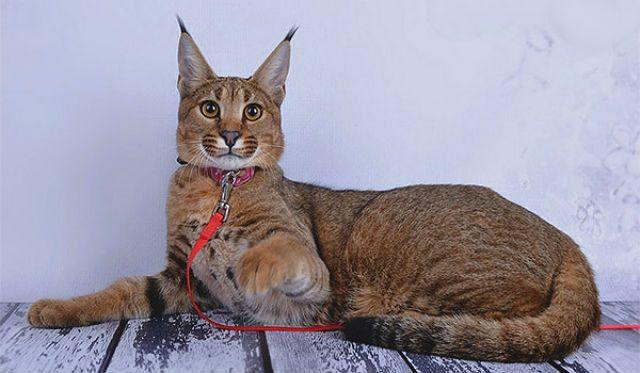 Питомник редких пород кошек